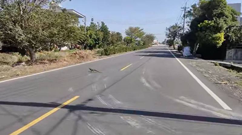綠鬣蜥從容走過彰化縣埔鹽鄉成功路。圖/網友Lokai Saxon提供