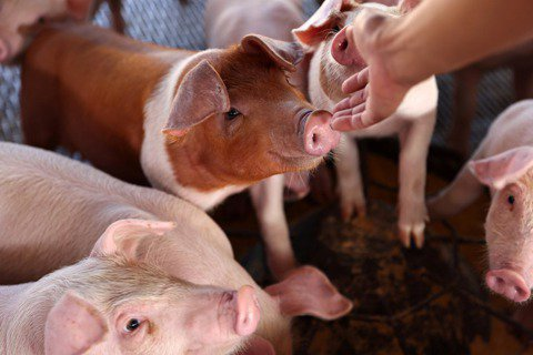胡博硯/萊豬開放進口後,食品安全的標準能否因地制宜?