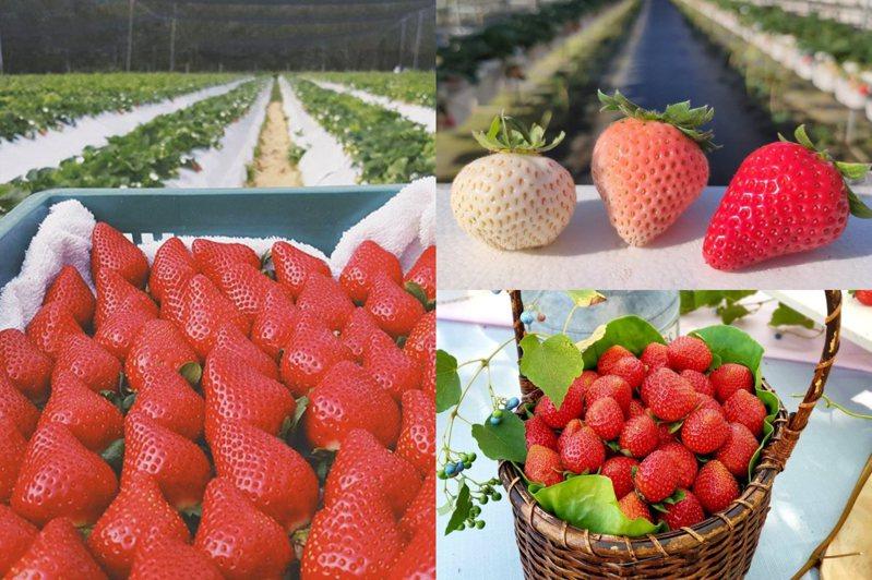 ▲圖片來源:長鑫莓果農園FB、▲圖片來源:三本鮮莓園FB
