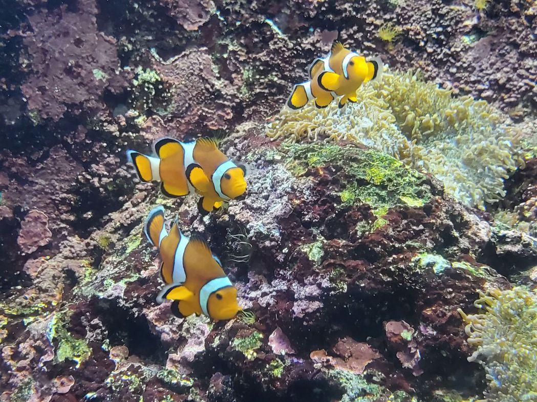 小丑魚-眼斑海葵魚。  屏東海生館/提供