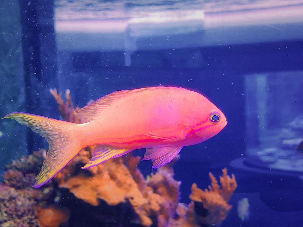 側帶擬花鮨(雄魚)。  屏東海生館/提供