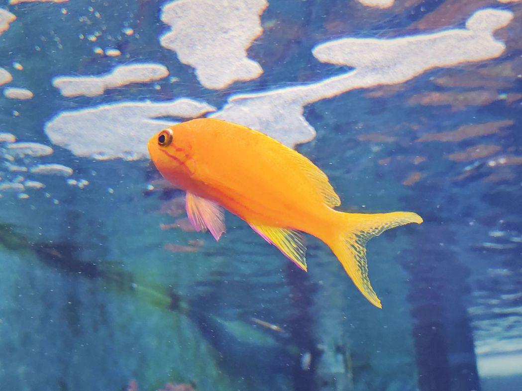 側帶擬花鮨(雌魚)。  屏東海生館/提供