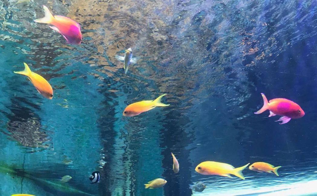 側帶擬花鮨雌魚呈現橘黃色,雄魚則呈現粉色。  屏東海生館/提供