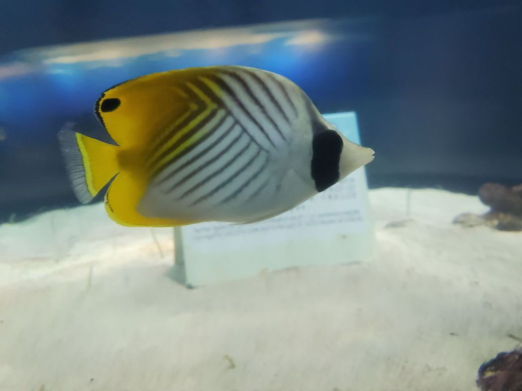 蝴蝶魚。  屏東海生館/提供
