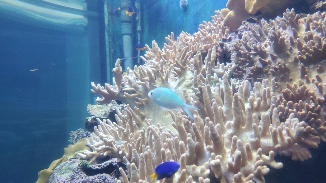 藍綠光鰓雀鯛。  屏東海生館/提供