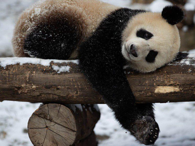大陸四川臥龍大貓熊復育基地裡的雪中大貓熊。新華社