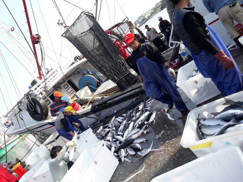 澳底漁港在近期斬獲大量烏魚。圖/新北市漁業處提供