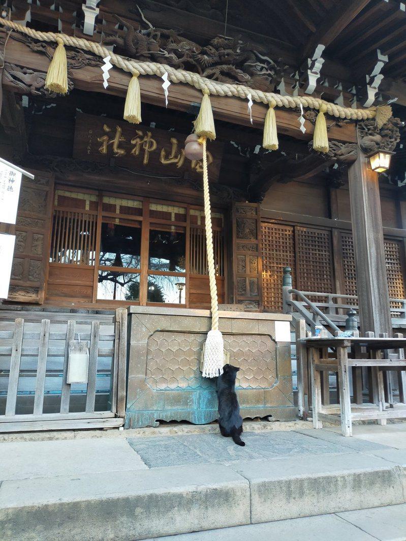 去神社參拜的可不只有人類,最近日本就有網友拍到,連喵星人都跑到神社祈福。圖擷取自twitter