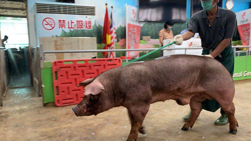 近日國內豬肉拍賣價格上漲,學者坦言,豬價應由市場機制決定,與拍賣頭數、市場需求有關,但目前豬價已成為政治問題。圖為豬隻拍賣示意圖。圖/聯合報系資料照片