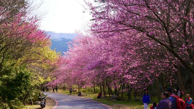 今年度武陵農場櫻花季疏運時程於2月12日(大年初一)登場,持續至3月1日(星期日...