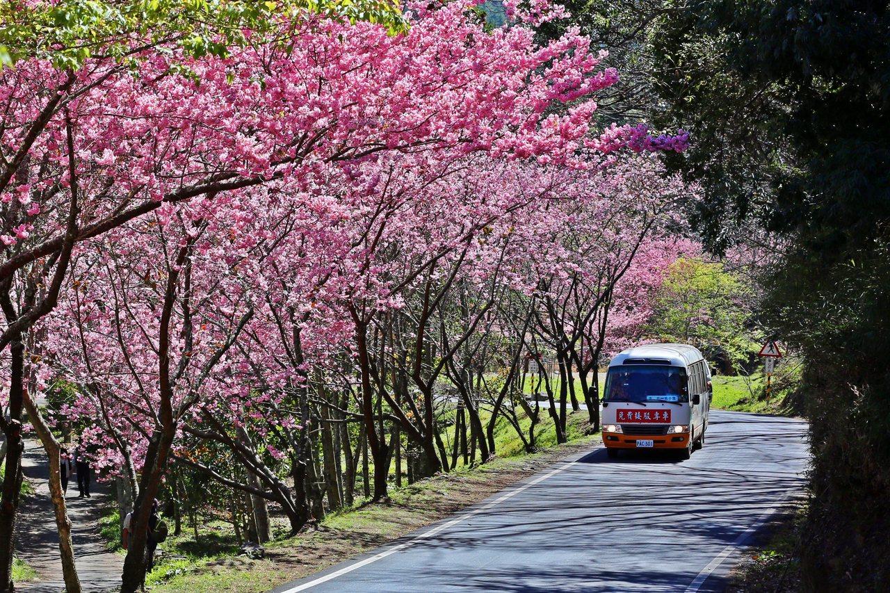 武陵農場櫻花季將於2月12日(大年初一)登場,持續至3月1日(星期日),共計18...