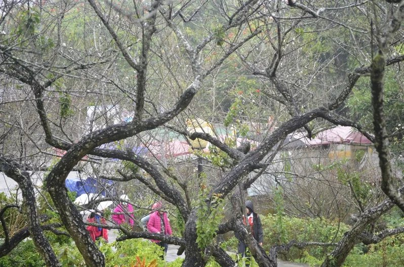 寒流來襲,7日飄著小雨,仍有民眾撐著雨傘到嘉義縣梅山公園賞梅,往年此時梅花已盛開...