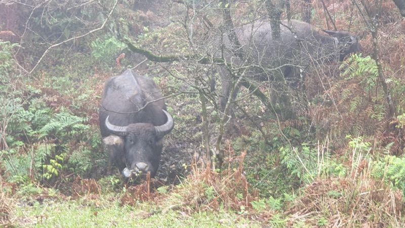陽明山頂山石梯嶺附近有2隻野化水牛死亡,其中1隻疑因氣溫驟降凍死、另1隻則死亡多日。 報系資料照/記者胡瑞玲攝影