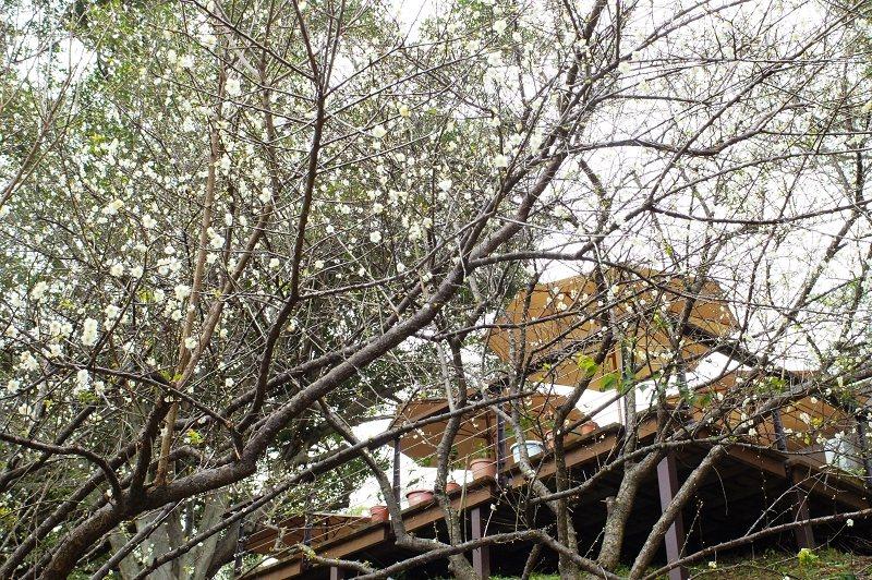 角板山園區梅園梅花盛開。圖/桃園市風景管理處提供