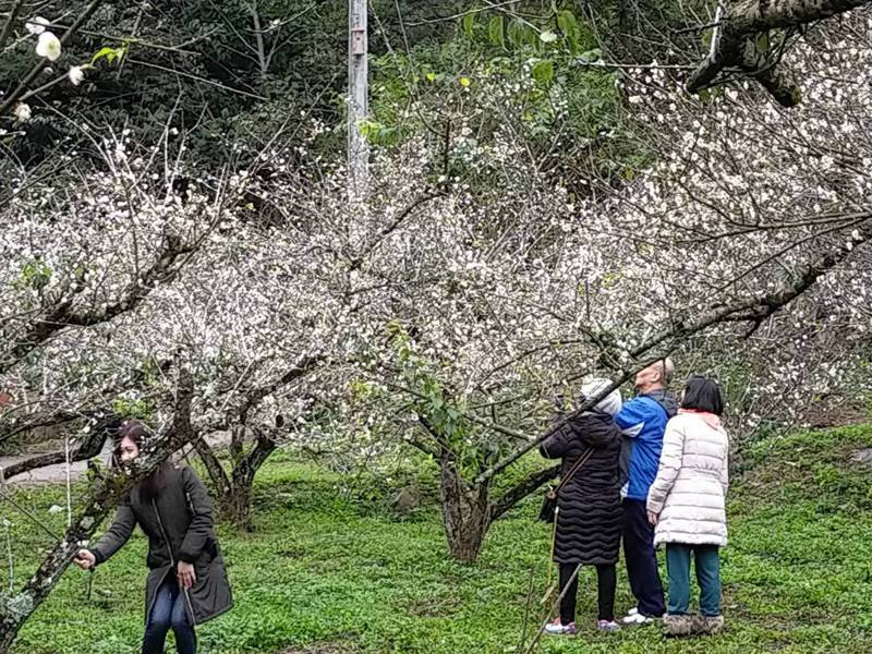 高雄桃源區梅山部落的梅花盛開,吸引遊客上山賞花。圖/桃源區公所提供
