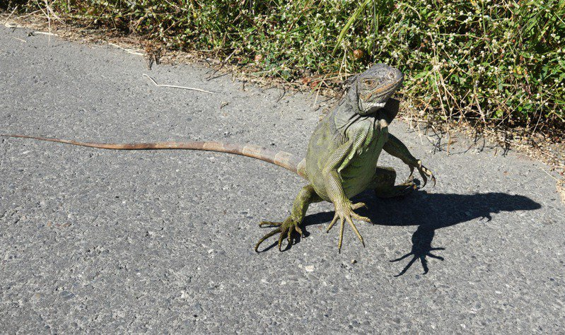 綠鬣蜥防治,不飼養、不棄養,避免演變成生態災難。記者劉學聖/攝影
