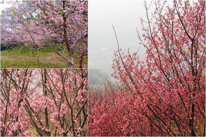 圖左一為高雄桃源區櫻花季往年花況,圖二、三為翠墨莊園2020年園內不同品種的櫻花盛況。圖/高雄市桃源區公所臉書專頁、翠墨莊園臉書專頁