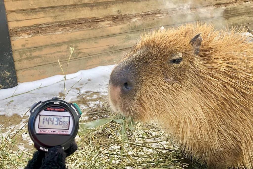 日動物園辦「誰家水豚泡湯泡最久大對決」  冠軍爽泡104分鐘
