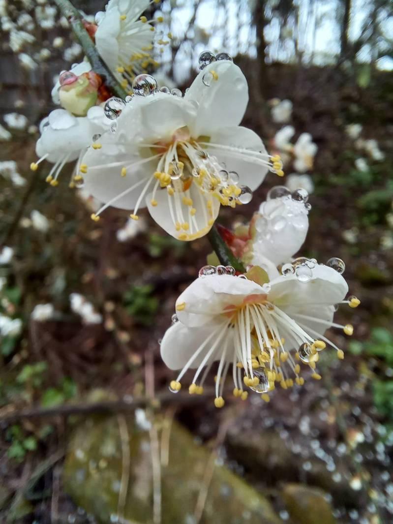 雲林古坑舊草嶺公路沿線梅花正朵朵綻放,吸引許多賞花客慕名而至。圖/民眾提供