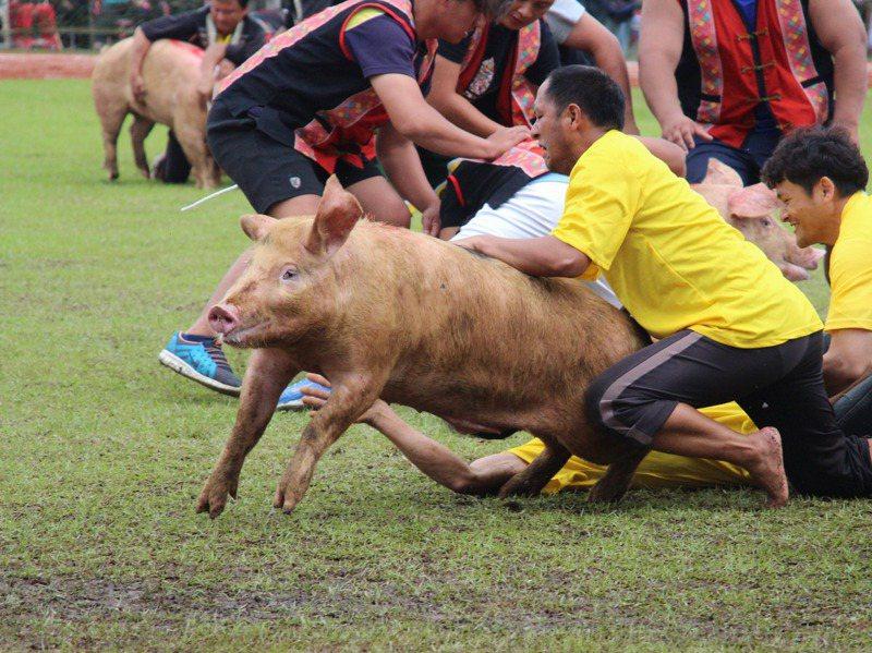 原民對於吃豬的方式非常講究。圖為布農族射耳祭抓豬活動。圖/聯合報系資料照片