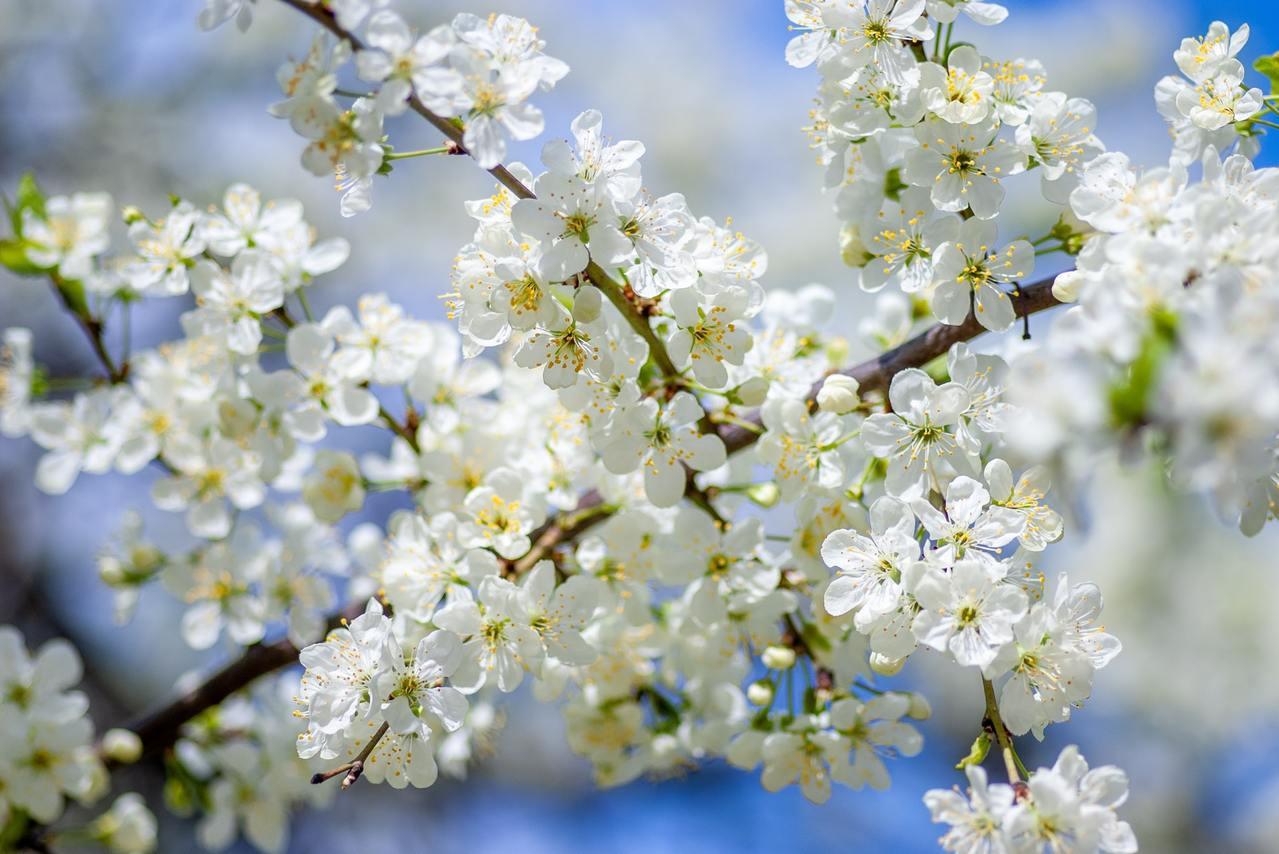 武陵農場著名「紅粉佳人」花況,最漂亮時間落點在2月15日到25日。 圖/unsp...