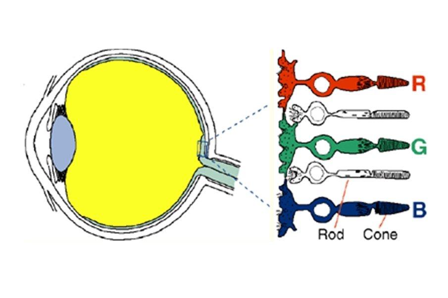 眼睛內的三種錐細胞。 圖/作者繪製