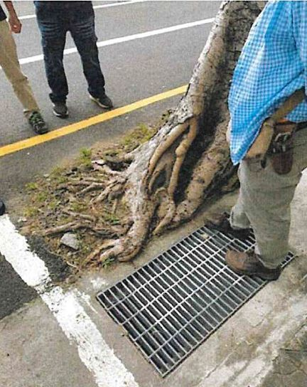 台南市南門路上的菩提樹嚴重傾斜。圖/市府工務局提供