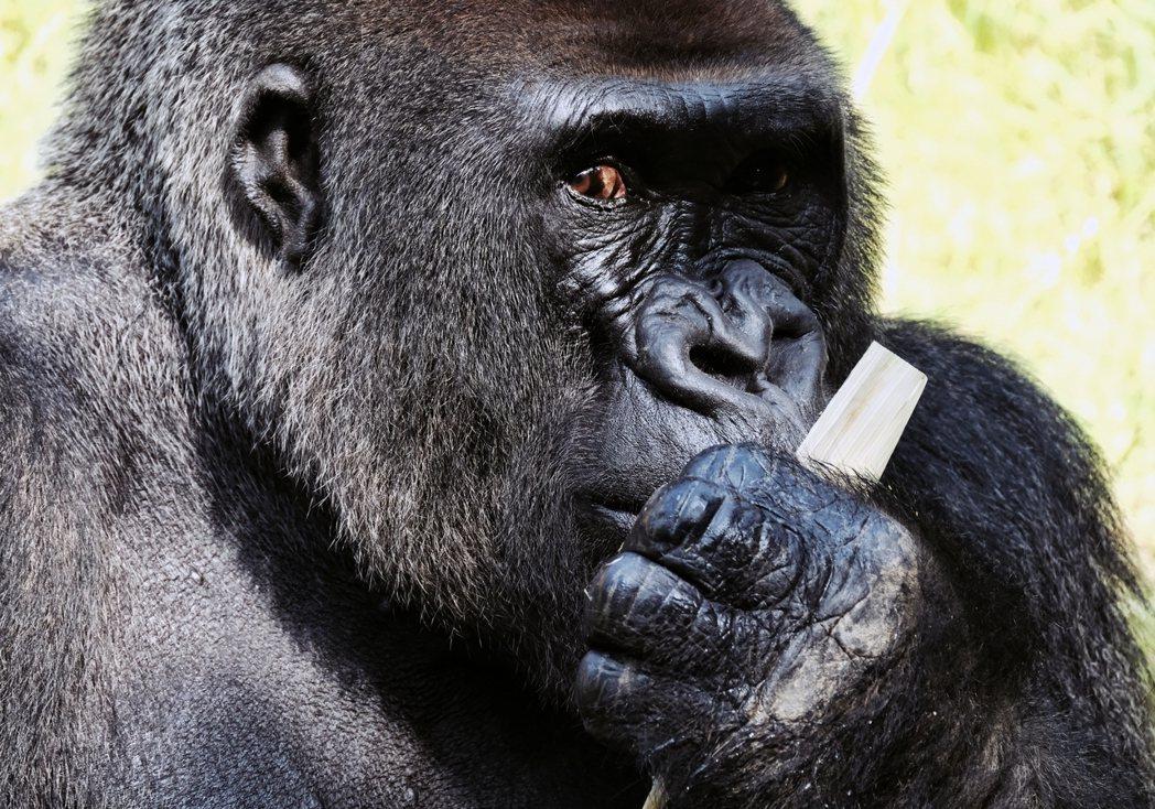 美國加州聖地牙哥動物園的銀背大猩猩「Kelly」(雄性),並非確診當事猩猩,園方...