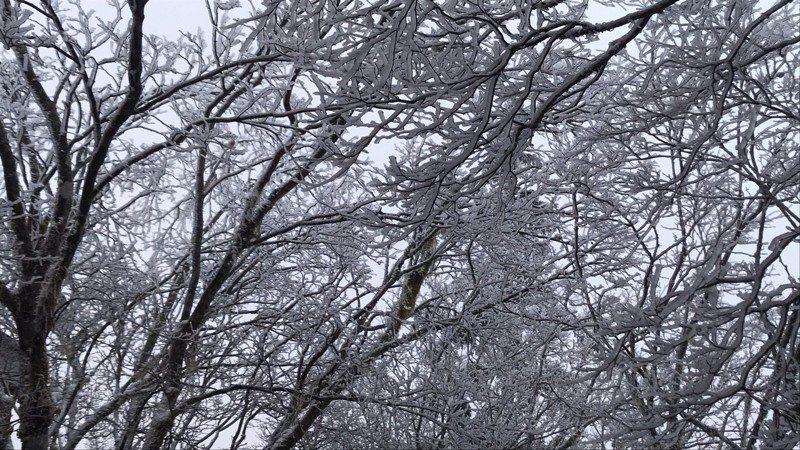 宜蘭太平山今結霧淞,並未下雪。圖/羅東林管處提供