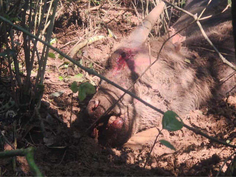 陽明山擎天崗今又發現1隻小牛死亡,眼口鼻冒血,死狀詭異。圖/截至「為牛請命-巡牛志工隊」臉書社團