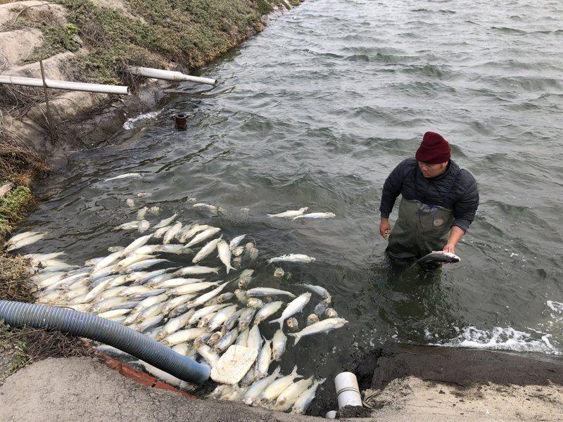 寒流來襲,伸港鄉養殖漁業遭遇寒害,漁民打撈凍死的虱目魚。記者林敬家/攝影