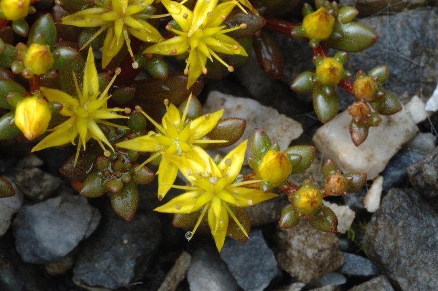 太魯閣佛甲草的萼片如細小的葉片,是辨識的主要特徵。  圖/林試所許天詮提供