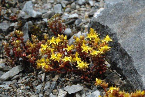 曾詩琴/【植物園方舟計畫】太魯閣佛甲草:石灰岩塊上的多肉植物