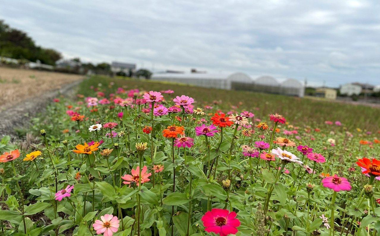 彰化二期稻作收割後之後各地種植冬季裡作作物,各地都可看到花海。 圖/林敬家 攝影