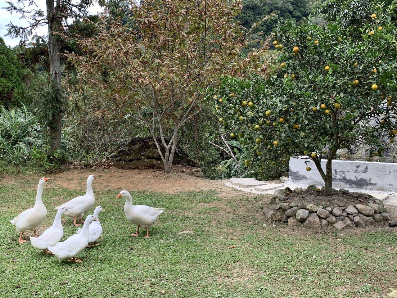 果園中除種了數十種水果,還有魚池用天然泉水養殖的草魚、吳郭魚,野放的鴨、鵝在農場...