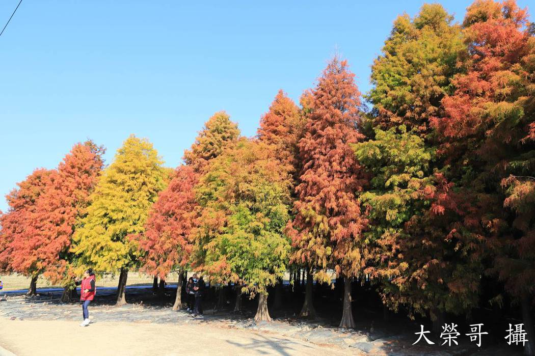 26.台南六甲落羽松轉變的更為暖紅色
