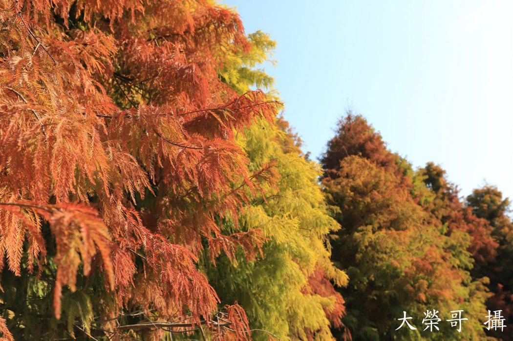 27.六甲區北上省道靠近菁埔埤旁的羽松呈現獨有的暖紅色,為冷冽冬天帶來溫暖,也成為熱門觀光景點,吸引網紅部落客來朝聖。