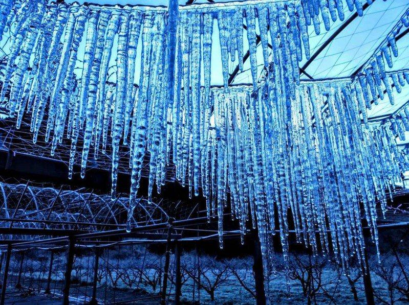 武陵農場紫藤溫室內,今天早上出現大片冰柱美景。圖/取自武陵農場臉書