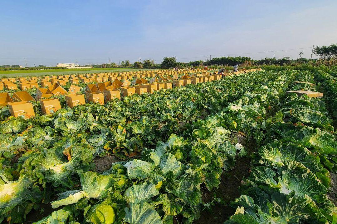高麗菜減產...菜價創新高 農民也擔心疫情影響菜價