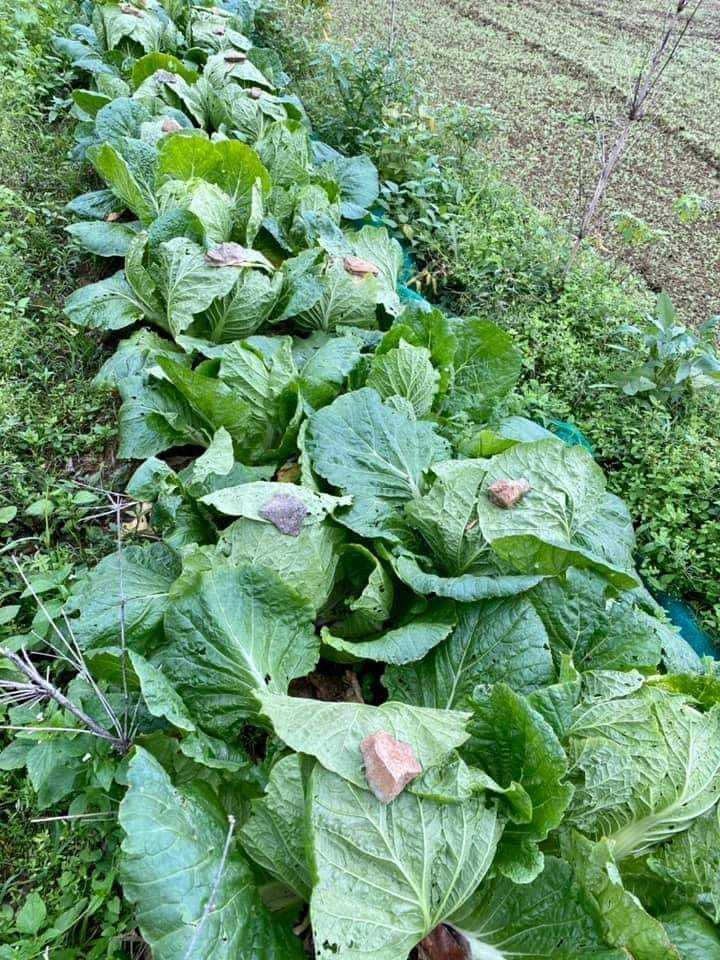 菜園內整排大白菜被石頭「鎮壓」,讓人好奇有何效用?圖擷自爆廢公社公開版