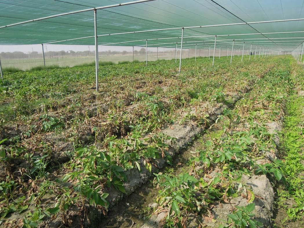 馬鈴薯晚疫病病徵。 台南農改場/提供。