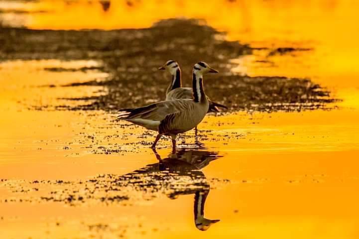 斑頭雁13日在礁溪時潮出沒,是台灣首次記錄到斑頭雁過境。圖/賴姓攝影師提供