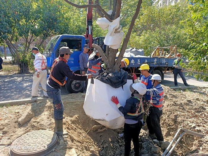 在專家的指導下,移植前先行進行根球部包裹保護作業。 高雄市政府捷運工程局/提供