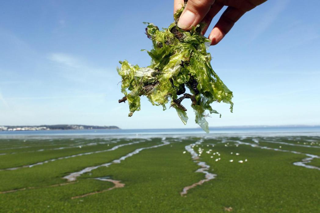 消費品大廠正研究運用海藻抗菌技術,讓物品的表面能自行潔淨。(路透)