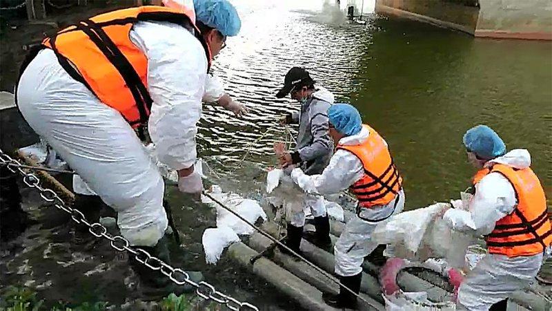 國立中正大學的黑天鵝被檢驗出H5N5高病原性禽流感,嘉義縣家畜疾病防治所15日起展開撲殺。中央社