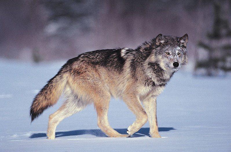 聯邦政府去年宣佈將灰狼排除在瀕危動物名單之外,近日有動保團體提出訴訟。(Photo from網路截圖)
