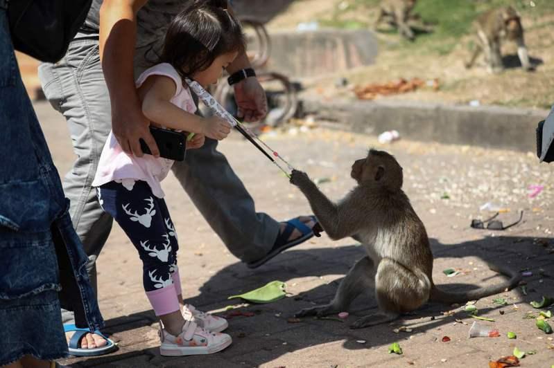 一隻泰國華富里的猴子搶奪女童口罩。法新社