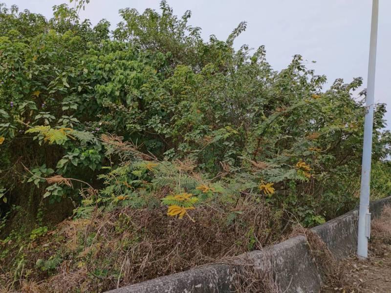 生態學者在台南東山枋山橋兩側發現外來入侵植物刺軸含羞木,較以往的紀錄已經北移。圖/許再文提供