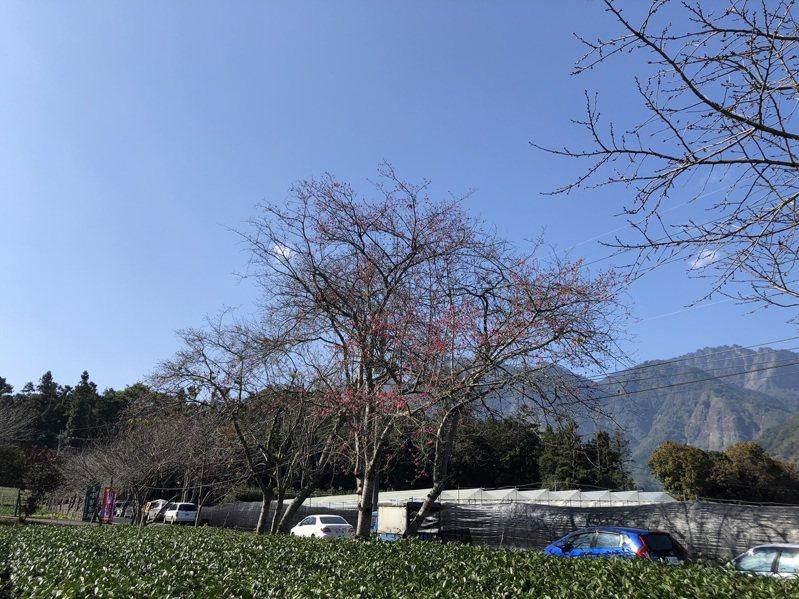 草坪頭櫻花季宣告開始盛開到三月,目前櫻花已開始綻放中。記者黑中亮/攝影