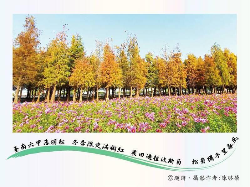 要讓世界都看見,台南六甲公所發行區長攝落羽松明信片。記者周宗禎/翻攝